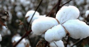Cotton Prices opened at least 6 years came